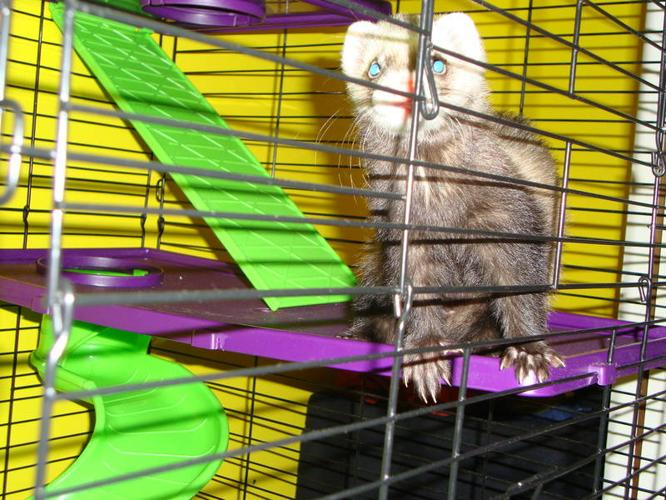 1 Year Old Male Ferret for Sale includes Accessories & Supplies