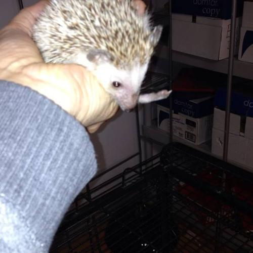 10 month old friendly and healthy hedgehog with everything