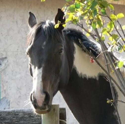10 yr old Registered Pinto/Arab Mare