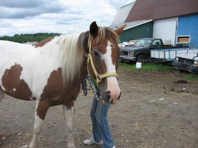 17 year old APHA mare perfect for beginners !