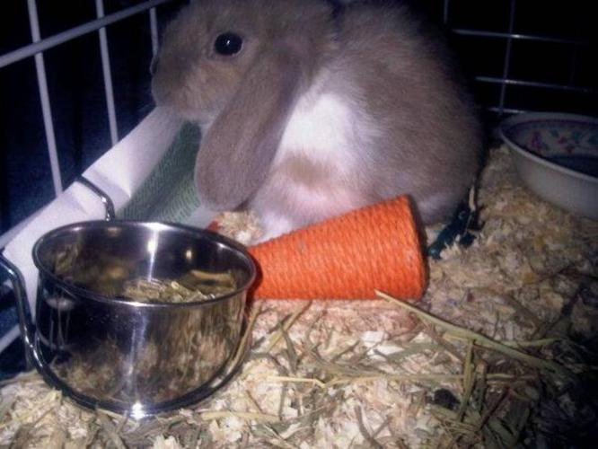 2 and a half month old Bunny for sale