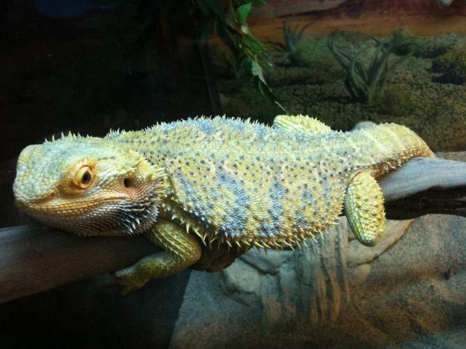 2 Female bearded dragon color morphs