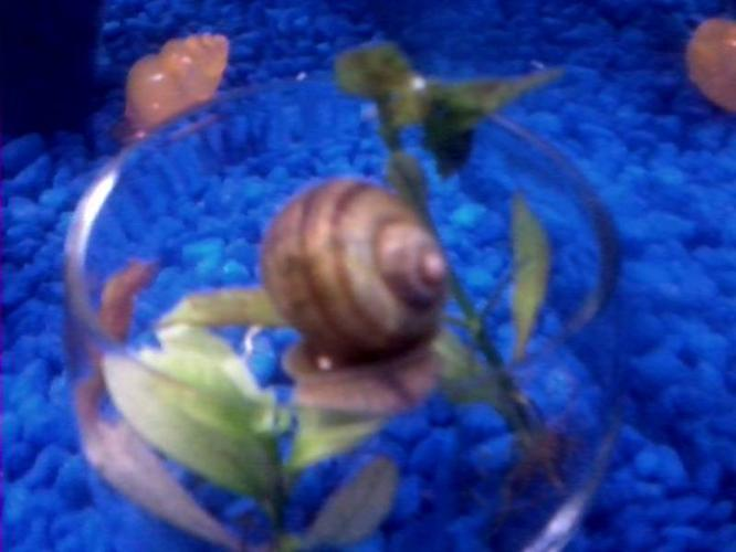 2 FREE APPLE SNAILS. NEED GONE YESTERDAY! FISH
