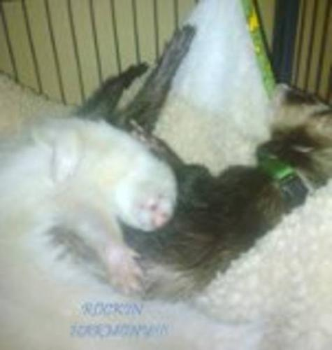2 LOVEABLE FERRETS