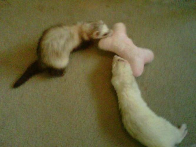 2 male Ferrets & Ferret Nation Cage