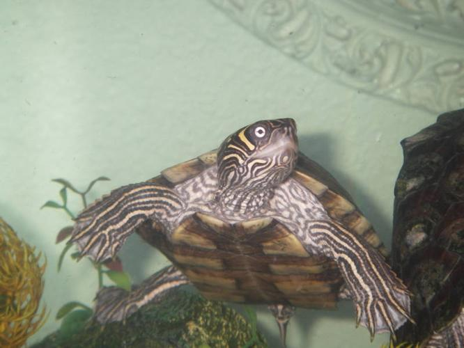 2 map turtles and plecostomus with tank and accesories