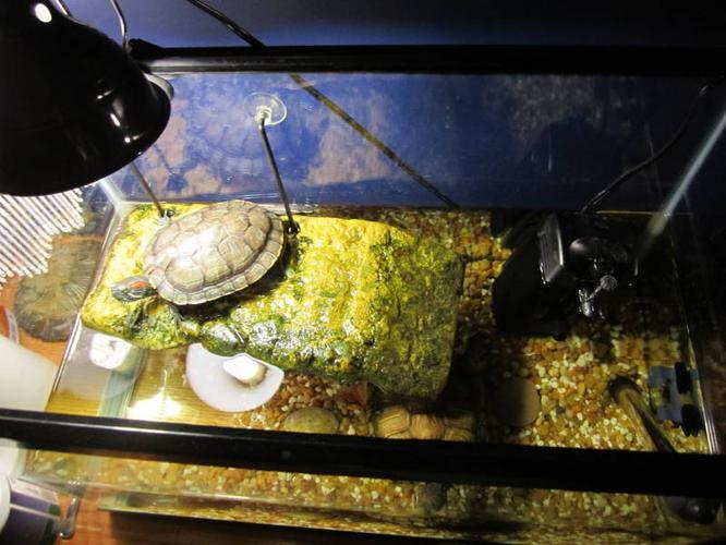 2 red eared slider turtles, everything you need to take care