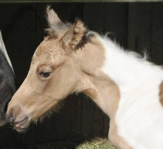 2000 APHA Grulla Tobiano Mare-Homozygous and she rides!