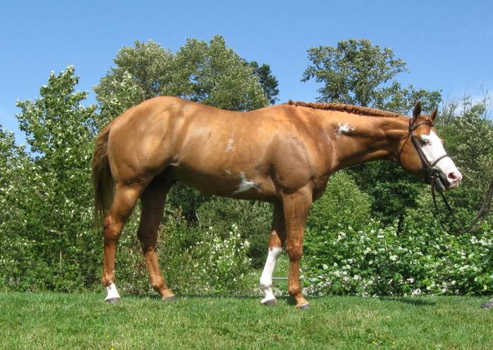 2004 APHA/PtHA Chestnut Overo Stallion - Lease or Purchase