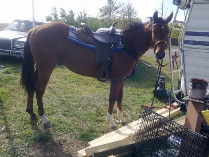 2yo Quarter horse