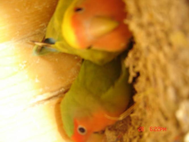 3 lovebird free big cage