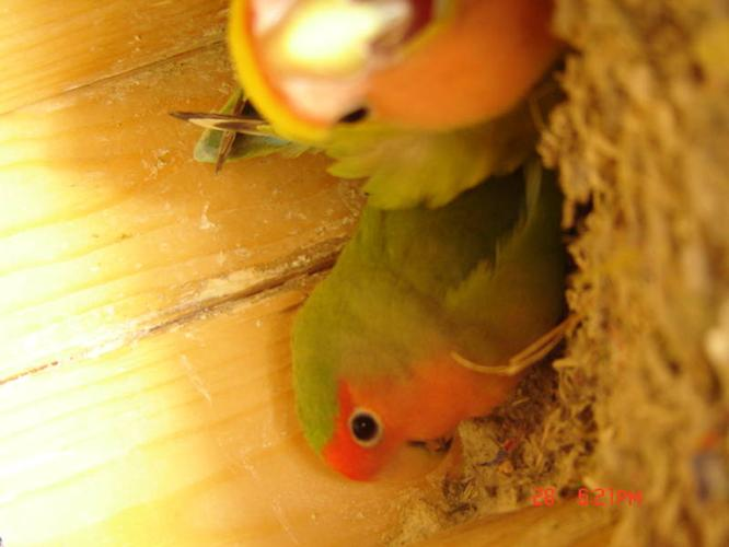 3 peach face lovebirds with 5 hatch eggs , free big cage