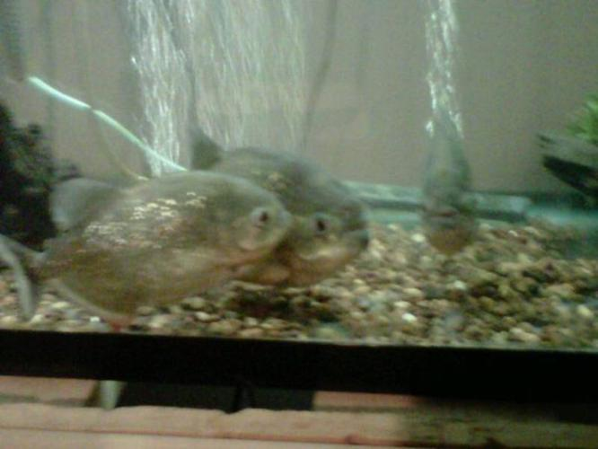 3 REDBELLIED PIRHANNA'S WITH TANK AND ACCESSORIES