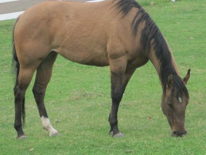 3 year old Dun (Buckskin with dorsal) AQHA mare