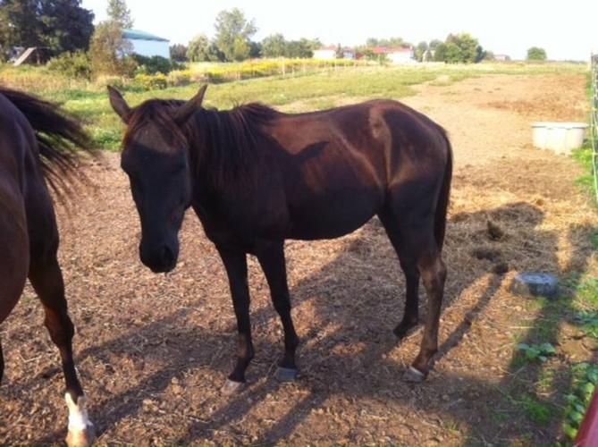 3 year old large pony gelding available for sale