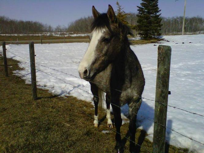 3 y/o Reg. Quater Horse Mare For Sale
