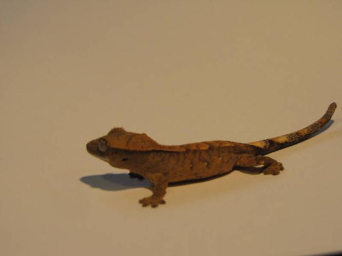 4 BabyCrested Geckos