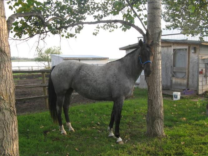 4 year old Blue Roan Mare