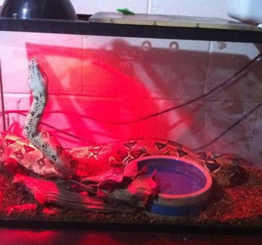 4 year old female boa constrictor