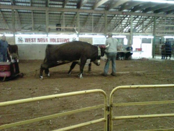 4 yr old pair of brockle oxen.