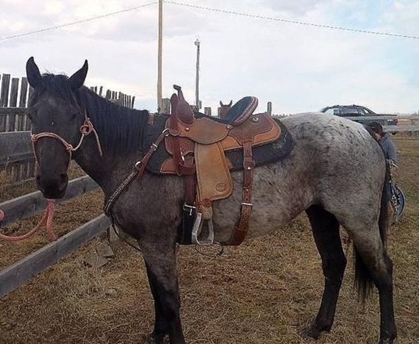 5 year old blue roan mare