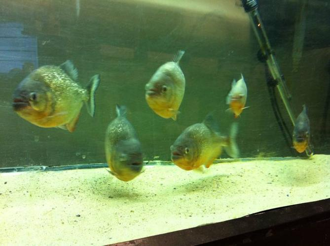 6 Red Belly Piranhas for sale