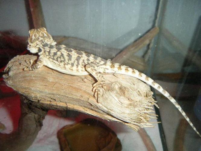 7 month old bearded dragon w/80 g tank + more :)