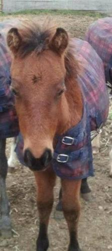 7 month old welsh/qh filly, will be suitable for anything
