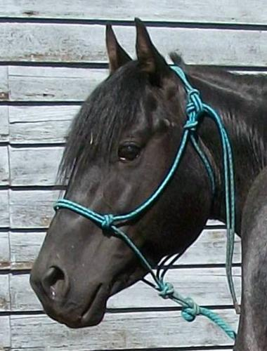 7 Year Old Hancock Bred Blue Roan Stallion SALE PENDING!!!!