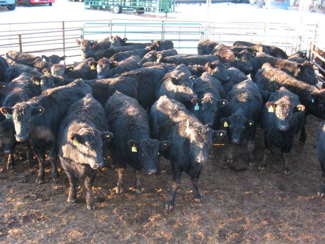 87 bred heifers offered by Hummock Springs Ranch