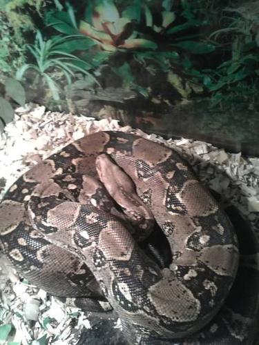 9 foot boa