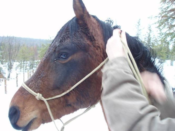 9 Year old Purebred Registered Arabian Stallion -Bay