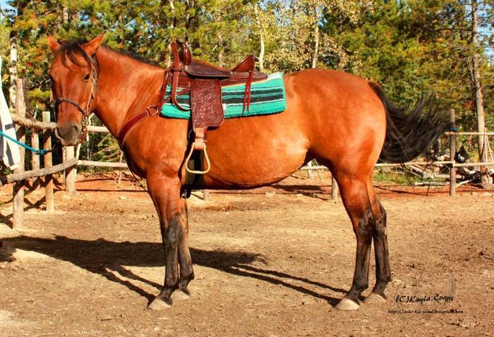 9 yr Old Dun Quarter Horse Mare