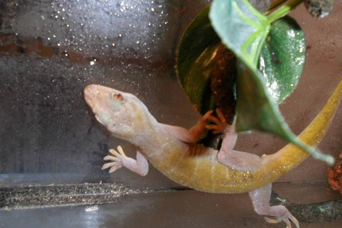 adult male golden gecko with everything