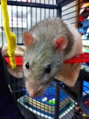Adult Male Small & Furry - Rat:
