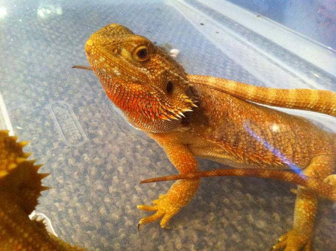 Adult proven female color morph Bearded dragon