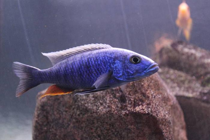 African Cichlid Fry for Sale!!!