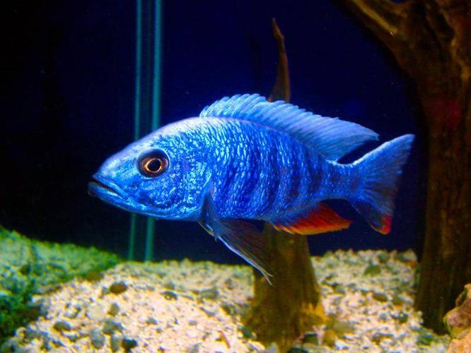 African Cichlids for sale (2types)