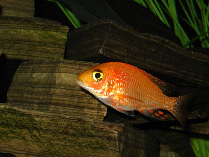 African Cichlids - Lake Malawi Peacocks - Labs for sale in ...