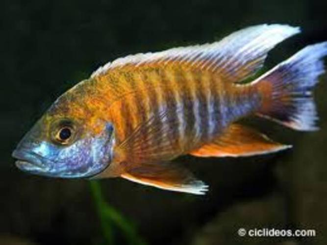Strawberry Peacock African Cichlids African-cichlids-lake-malawi- ...