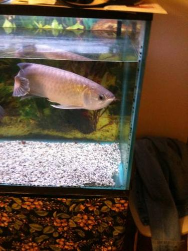 Arowana Fish *Rare* Green
