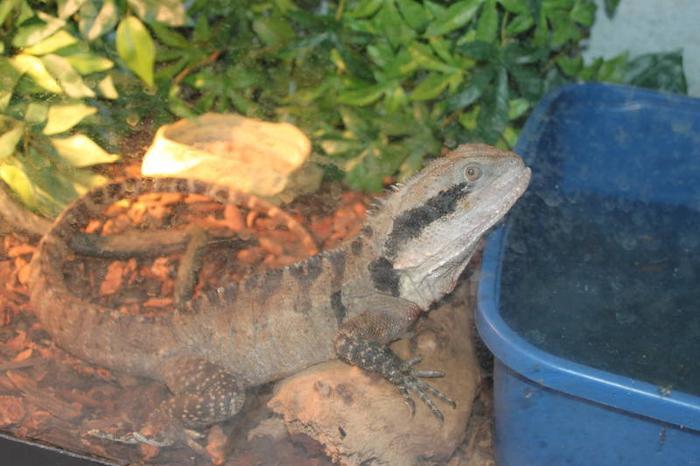Austrailian Water Dragon