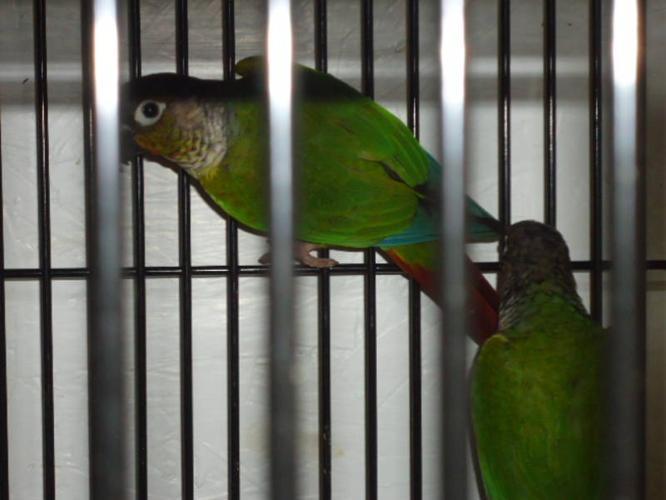 Baby Green Cheek Conures For Sale