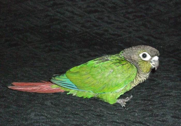 Baby Green-cheek conures