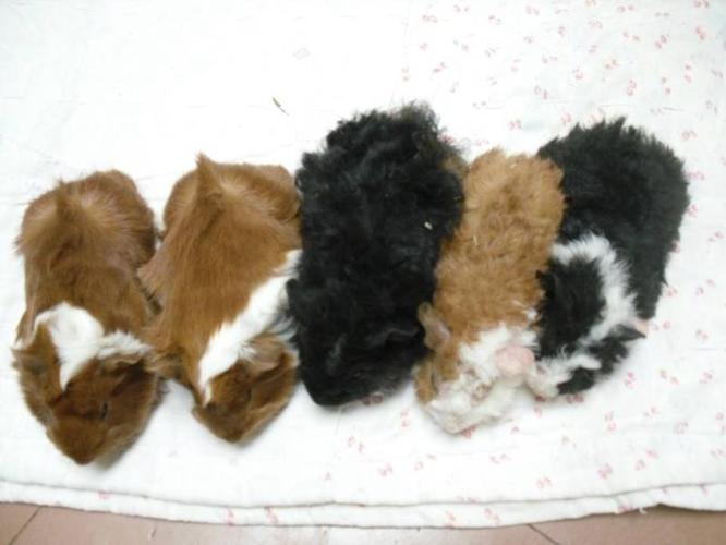 Cute Guinea Pig Breeds Baby Guinea Pigs Unusual Breed