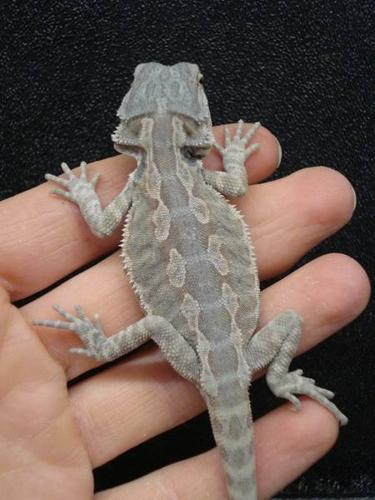 Baby Hypo Leatherback Bearded Dragons for sale in Cochrane