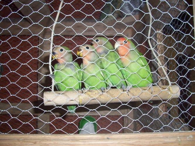 Baby Peachface Lovebirds