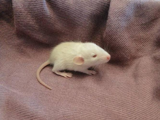Baby Rats - Two Left!