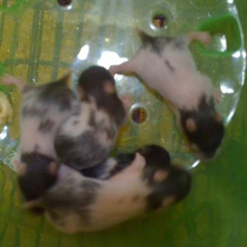 Baby Teddy Bear Hamsters