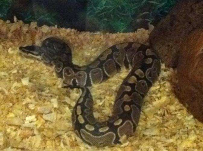 Ball python 1. 1/2 yr